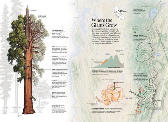 Sequoias_C4